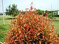Bunga pucuk merah (26).JPG
