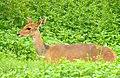 Bushbuck (Tragelaphus scriptus) female ... (51127279128).jpg