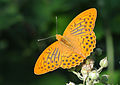 Butterfly Silver-washed Fritillary - Argynnis paphia.jpg