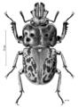 COLE Lucanidae Ryssonotus nebulosus.png