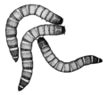 COLE Tenebrionidae Tenebrio molitor.png