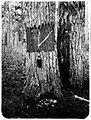 COLLECTIE TROPENMUSEUM Proef met het aftappen van een Pinus merkusii dennenboom Takingeun TMnr 60051181.jpg