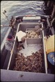 COMMERCIALLY HARVESTED DUNGENESS CRABS - NARA - 545093.tif