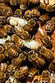 CSIRO ScienceImage 6961 Worker honey bees removing excess drone brood from the hive.jpg