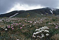 CSIRO ScienceImage 96 Alpine Herb Field Kosciuszko.jpg