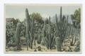 Cactus Garden, Riverside, Calif (NYPL b12647398-62880).tiff