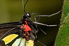 Cairns birdwing closeup - melbourne zoo.jpg