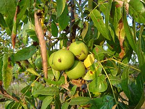 Juglans californica - California black walnut