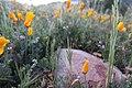 California Poppies A (237761383).jpeg