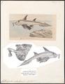 Callorhynchus antarcticus - 1700-1880 - Print - Iconographia Zoologica - Special Collections University of Amsterdam - UBA01 IZ14100009.tif