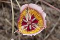 Calochortus plummerae - Flickr 006.jpg