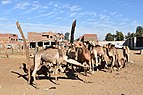 Camel market at Daraw, photo by Hatem Moushir 35.jpg