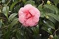 Camellia.japonica.cv.Il.Tramonto.7175.jpg