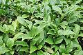 Camellia sinensis Tea Plant ჩაი.JPG