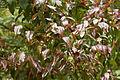 Camellia yunnanensis CFGq360.jpg