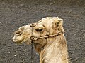 Camelus dromedarius - dromedary - Dromedar - dromadaire - Timanfaya national park - Lanzarote - 04.jpg