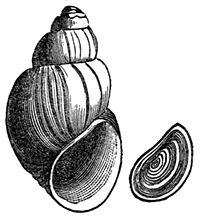 Campeloma decisum shell