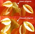 Campsis radicants-sensitive stigmas.jpg