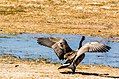 Canada Geese Are Back (26212227152).jpg