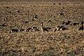 Canada goose - Branta canadensis (44814576092).jpg