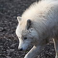 Canis lupus arctos IMG 9111.jpg