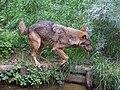 Canis lupus signatus (Kerkrade Zoo) 05.jpg