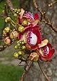 Cannon Ball Flower Penang Gardens-1 (5328018441).jpg