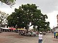 Caobo - Cedro caoba (Swietenia macrophylla) (14741196231).jpg