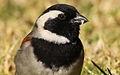 Cape Sparrow, Passer melanurus at Walter Sisulu National Botanical Garden, Johannesburg, South Africa (14747782993).jpg