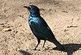 Cape glossy starling (2768334163).jpg