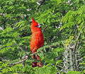 Cardinalis phoeniceus from Venezuela.jpg