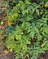 Cardiospermum halicacabum leaves.jpg