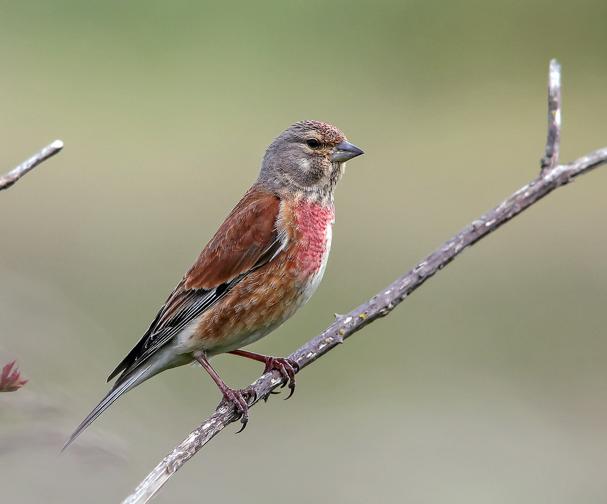 Common linnet wikipedia biocorpaavc