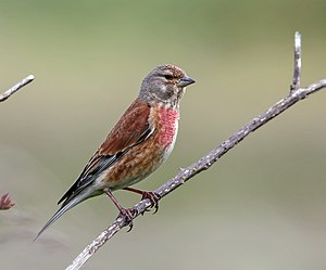 Common linnet - Male in breeding plumage in England