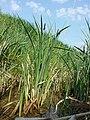 Carex acutiformis sl6.jpg