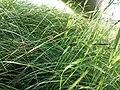 Carex melanostachya sl10.jpg