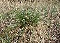 Carex paniculata kz01.jpg