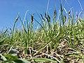 Carex praecox sl24.jpg