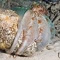 CaribbeanReefOctopus.jpg
