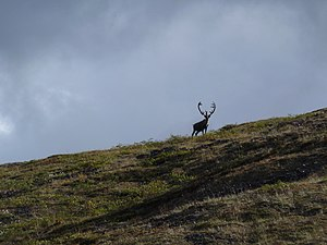 Porcupine caribou - Caribou in the western Brooksrange