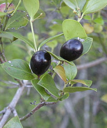 conkerberry wiktionary