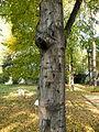 Carpinus betulus (7).JPG