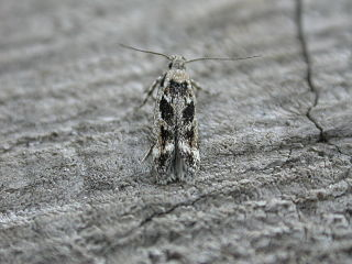 <i>Caryocolum fischerella</i> Species of moth