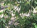 Casimiroa tetrameria2.JPG