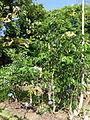 Cassia bacillaris-Jardin botanique de Kandy (2).jpg