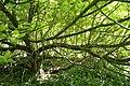 Catalpa bignonioides Aurea JPG1b.jpg