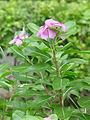 Catharanthus roseus - Kolkata 2004-07-13 01755.JPG