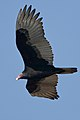 Cathartes aura -Estero Bay, California, USA -flying-8 (1).jpg