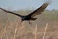 Cathartes aura -Paynes Prairie, Gainesville, Florida -flying-8 (1).jpg