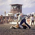 Cattle roping at the Calgary Stampede (27708771613).jpg